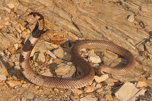 Aspidelaps lubricus cowlesi (Kunene Coral Cobra) from Sesfontein, Namibia. Photo by Johan Marais