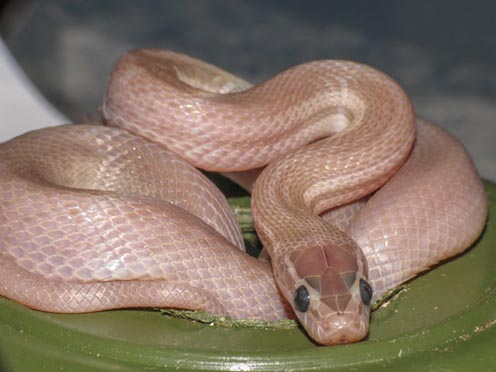 Blue-eyed Leucistic House Snake. Photo by Dean Boshoff