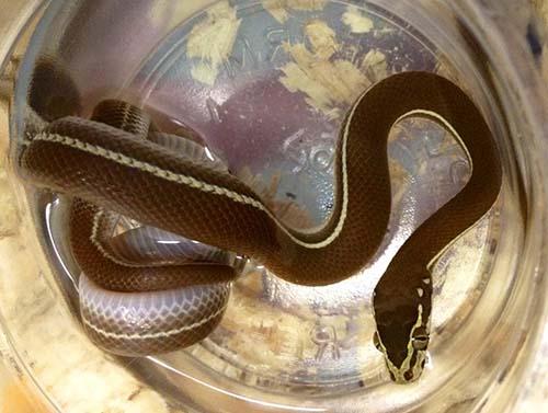 Tanzanian Striped House Snake (Boaedon lineatus)