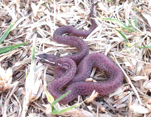Scaleless House Snake