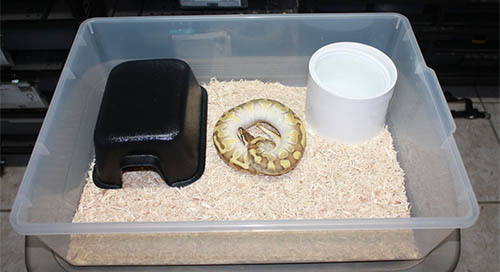 A simple yet very effective setup for a Ball Python. With a setup like this multiple Ball Pythons can be kept in a rack system.
