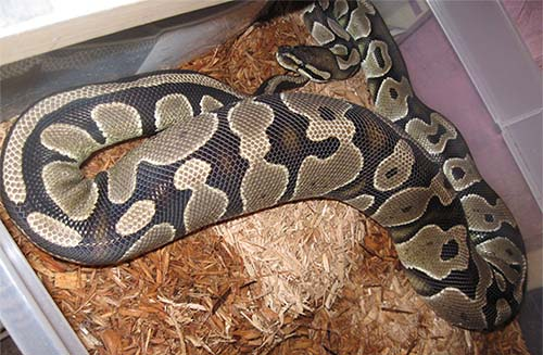 Ball Python ovulating. Note the large swelling which looks like she has eaten a very large meal.