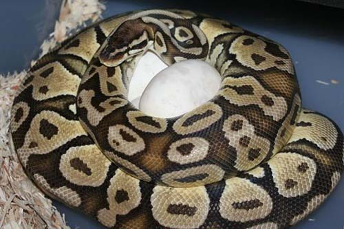 Ball Python with recently laid clutch of eggs.