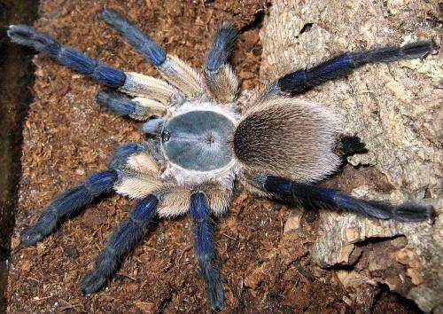 Ultimate Exotics Socotra Island Blue Baboon Monocentropus Balfouri
