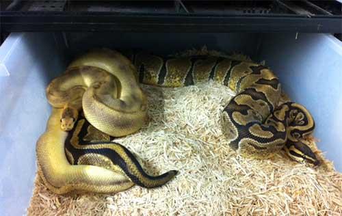 Ball Pythons mating