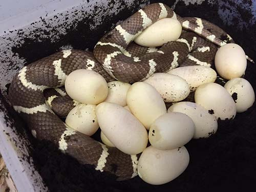 The largest clutch we have ever had from a Californian Kingsnake. 15 large eggs!