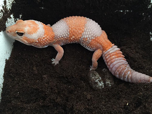 Tangerine Albino African Fat Tailed Gecko with eggs at Ultimate Exotics.
