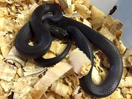 Black House Snake (Boaedon fuliginosus)