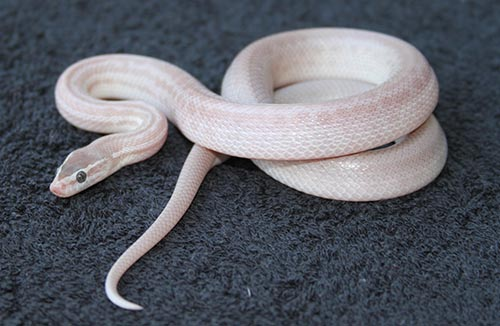 Blue-eyed House Snake. Owned and Photographed by Chris Jones.