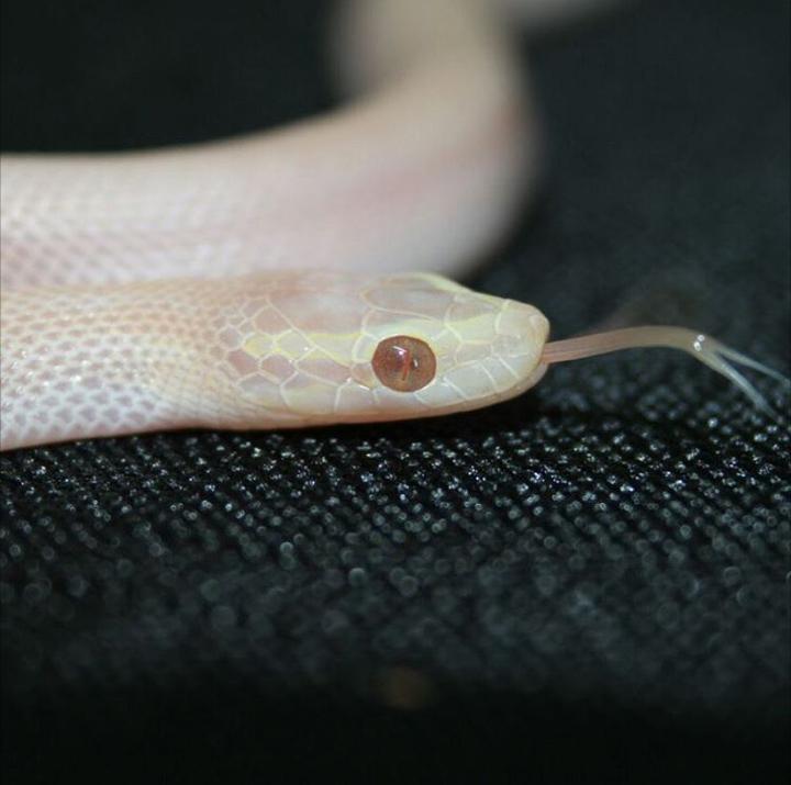 T- Albino Blue-eyed House Snake bred by John Chinn from Ditalo Reptiles