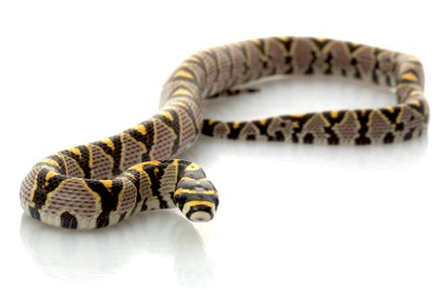 mandarin-rat-snake