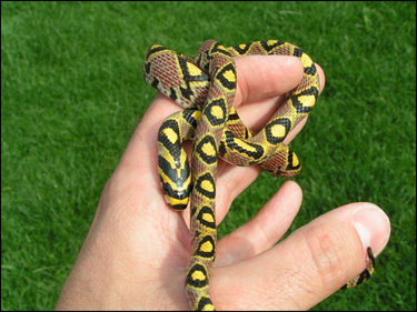 Mandarin rat snake - Jonathan Cleverly