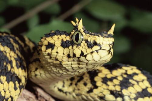 Usambara bush viper, eyelash bush viper