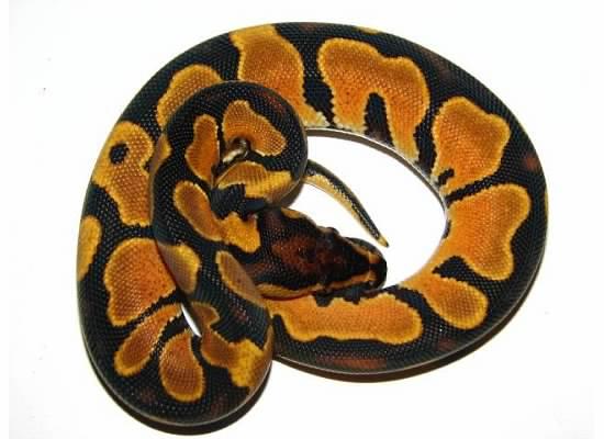 Ultimate Exotics The Orange Dream Morph In Ball Pythons