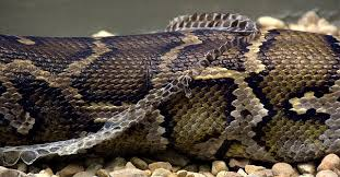 """When a snake sheds, it only loses the outermost layer of its skin, keeping the """"skin proper"""" very much intact. Despite this technicality, and for the sake of simplicity, I will refer to the process by its common terminology (shedding skin) throughout this article."""